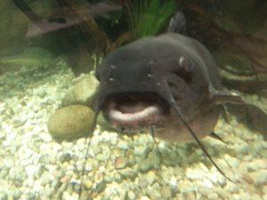 Bass Pro Catfish