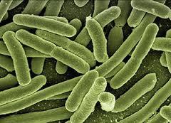 Nitrobacter