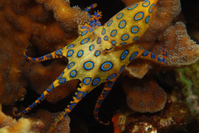 blue-ringed-octopus 2