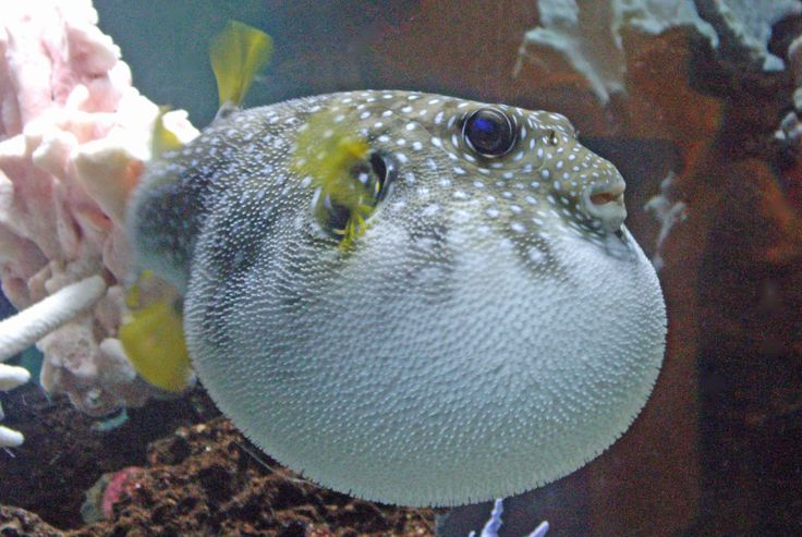 Fish of the month july 2016 aquatic creations group inc for Types of puffer fish