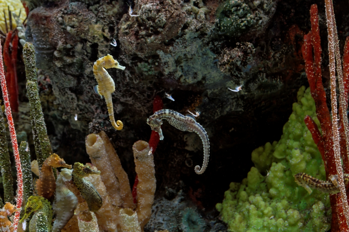 Fish of the month 4 2016 aquatic creations group inc for Seahorse fish tank