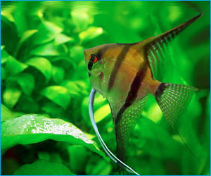 Fish of the month 8 2014 aquatic creations group inc for Freshwater angel fish
