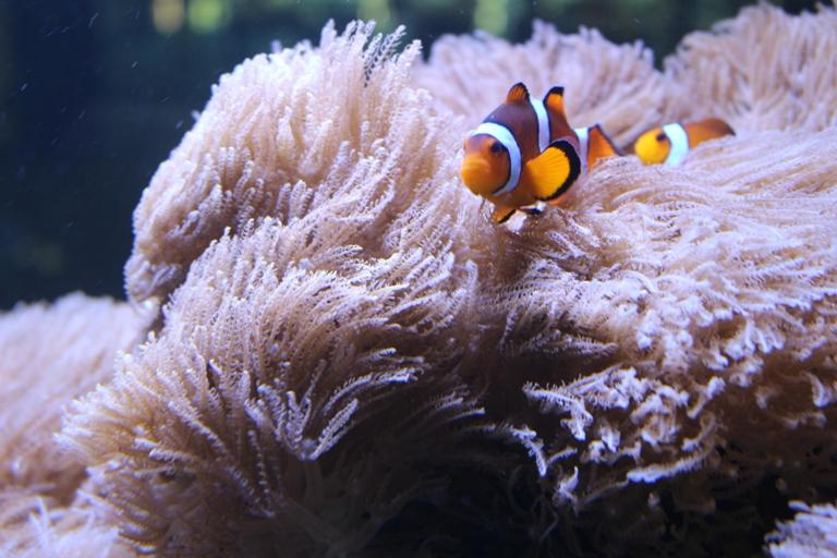 Clown fish nest_modified